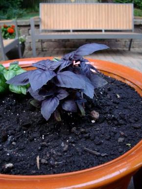 Lettuce and Purple Basil – a GardenUpdate